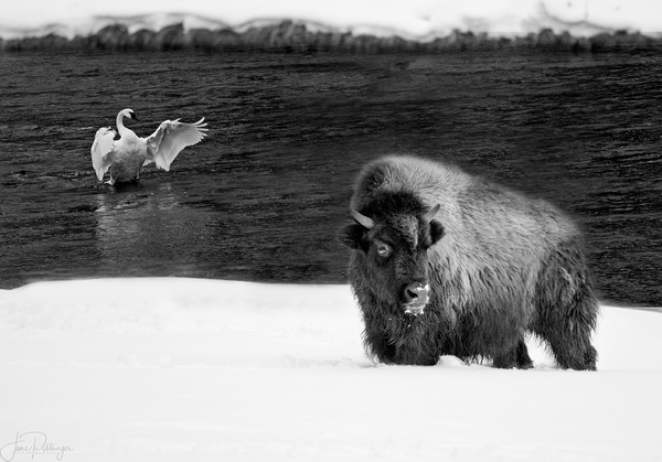 Bison_and_Trumpeter_Swan_ by jgpittenger