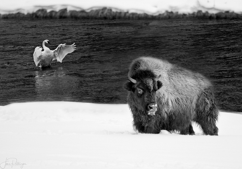 Bison_and_Trumpeter_Swan_