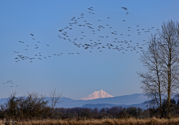 Dusky_Canadian_Geese_Flying_at_Finley_with_Mt_Hood_Watching_ by jgpittenger