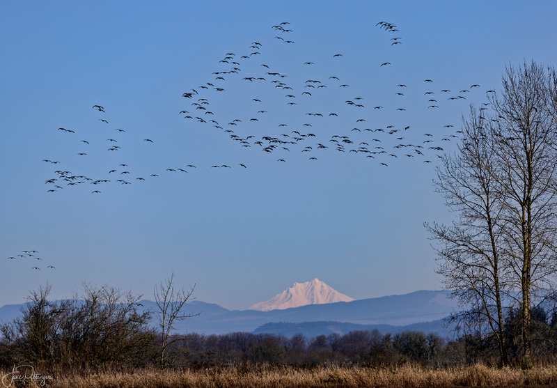 Dusky_Canadian_Geese_Flying_at_Finley_with_Mt_Hood_Watching_