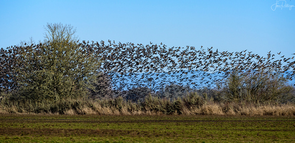 Murmuration_of_Dusky_Canadian_Geese_ by jgpittenger