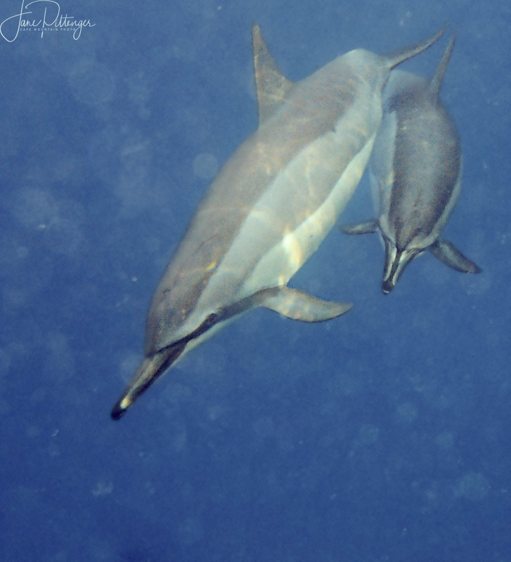 Mother_and_Baby_Dolphin