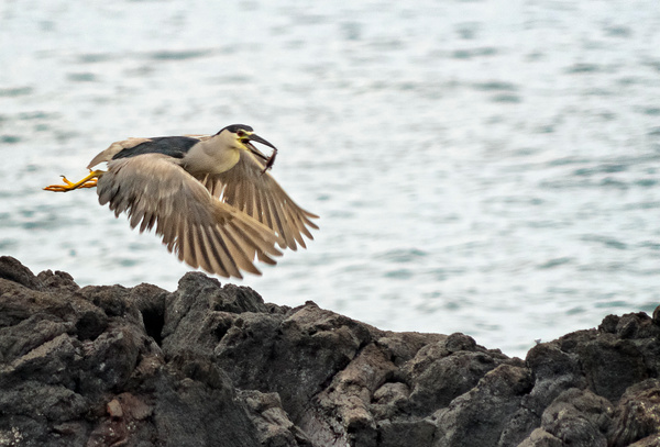 Night_Heron_Flying_with_Fish by jgpittenger