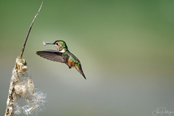 Rufous_Female_Getting_the_Nest_Ready by jgpittenger