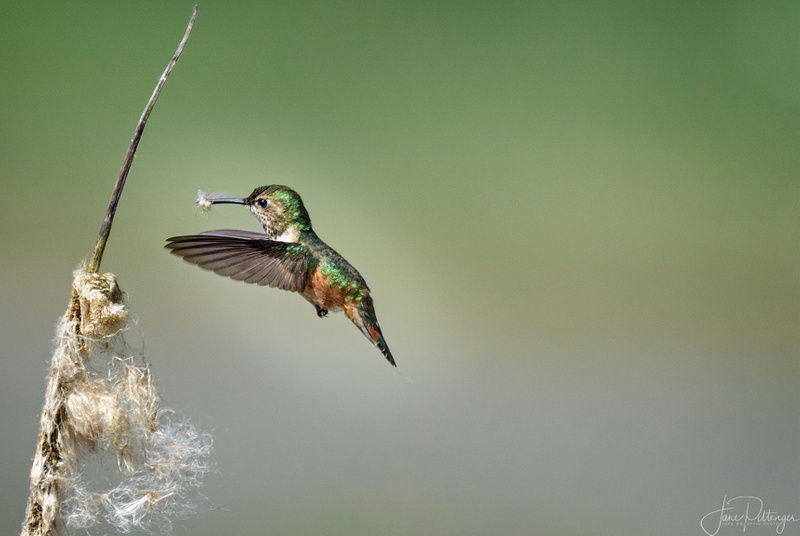 Rufous_Female_Getting_the_Nest_Ready