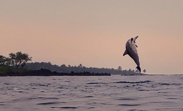 Spinner_Dolphin_Spinning_lightened by jgpittenger