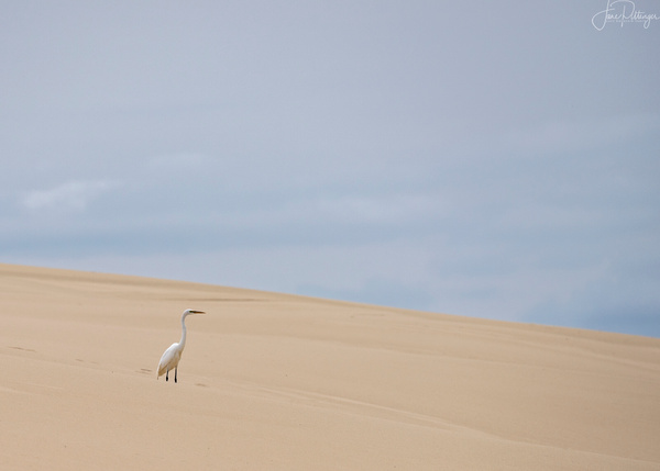 White Egret Standing on the Dunes (1 of 1)