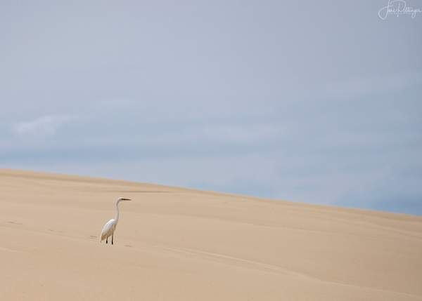 White Egret Standing on the Dunes (1 of 1)