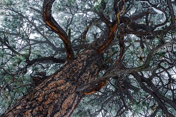 Looking Up in Snowy Ponderosa Pine