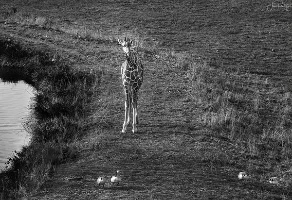 Baby_Giraffe_Herding_Canadian_Geese_ by jgpittenger