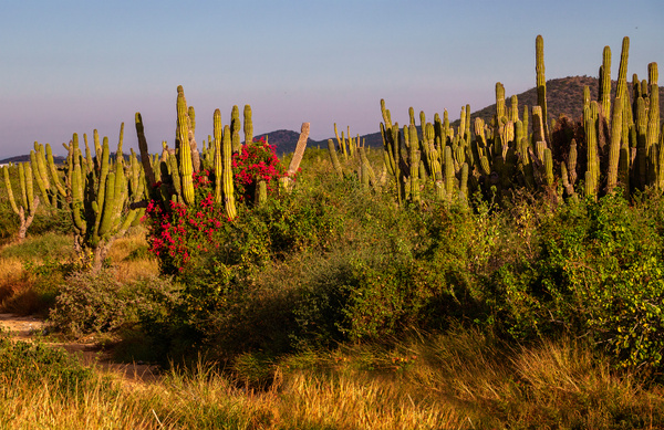 Bouganvillea_and_Cactus_ by jgpittenger