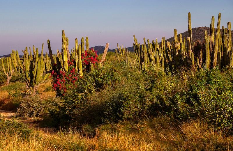 Bouganvillea_and_Cactus_