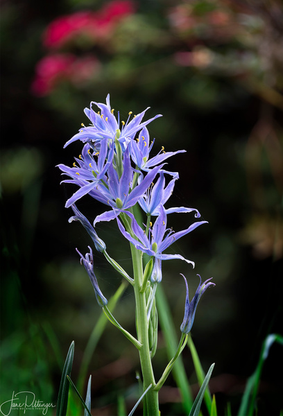 Focus Stacked Camas