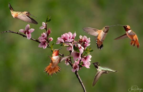 Hovering Around the Nectarine Blooms Distort 2