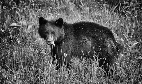 Bear Munching Below the House B and W