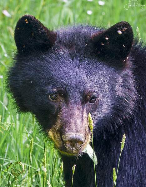 Bear Munching Portrait