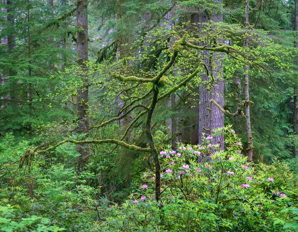 Native Rhododendrons