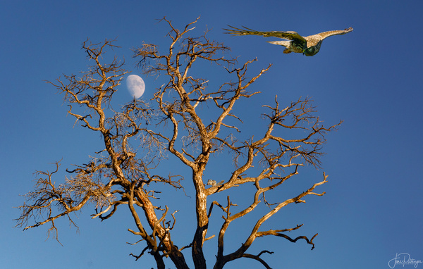 Moon, Tree and Northern Harrier