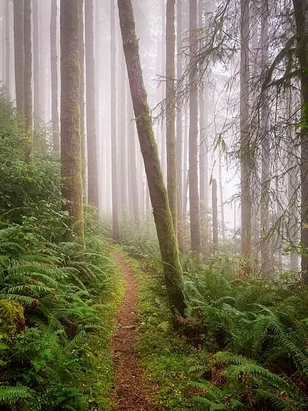 Foggy Cedars