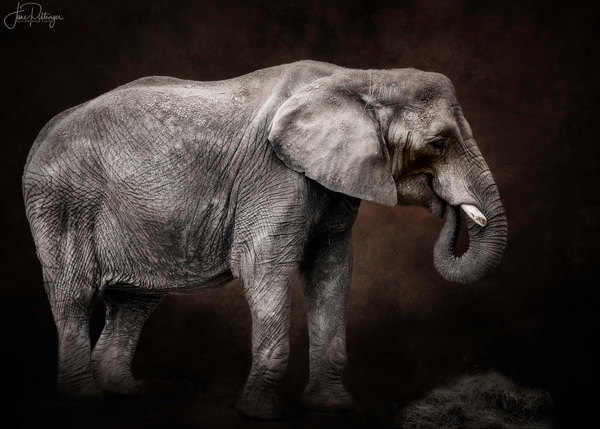 Elephant for Textures