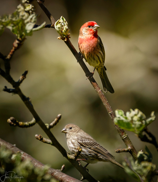 Male and Female Purple Finches