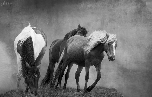 Assateague Horses B and W
