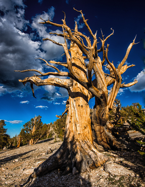 Dancing Bristlecone Pines-Jerry Forrest