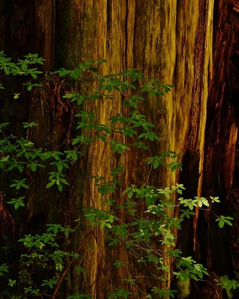 Giant Redwoods 2013 High Sierra Workshops by High Sierra...