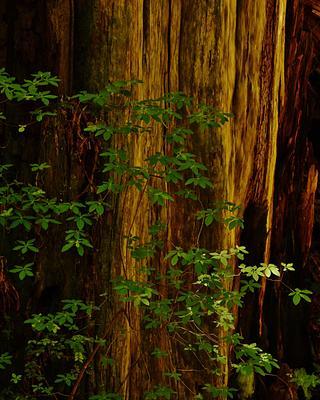 Giant Redwoods 2013 High Sierra Workshops
