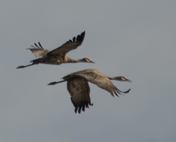 Lodi Sandhill cranes by MLPhotography