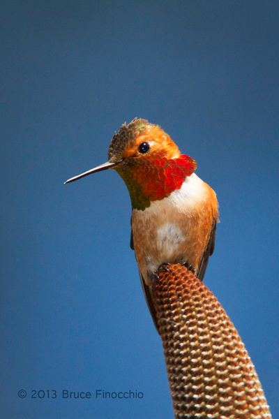 Beauty In The Eye Of A Male Allen's Hummingbird by BruceFinocchio