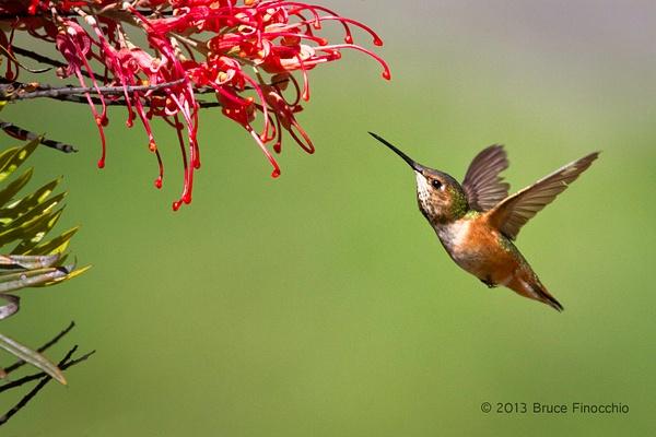 Female Allen's Hummingbird Approaches Superb Grevillea Blossoms by BruceFinocchio