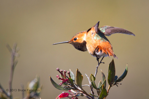 Male Allen's Hummingbird Does A Wing Stretch by BruceFinocchio