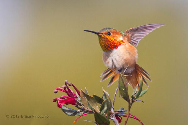 Male Allen's Hummingbird Does A Wing and Tail Stretch by...