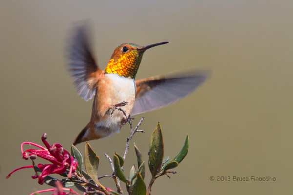 Male Allen's Hummingbird Landing on A Ruby Cluster Grevilla Branch by BruceFinocchio