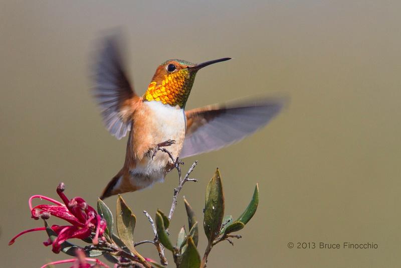 Male Allen's Hummingbird Landing on A Ruby Cluster Grevilla Branch