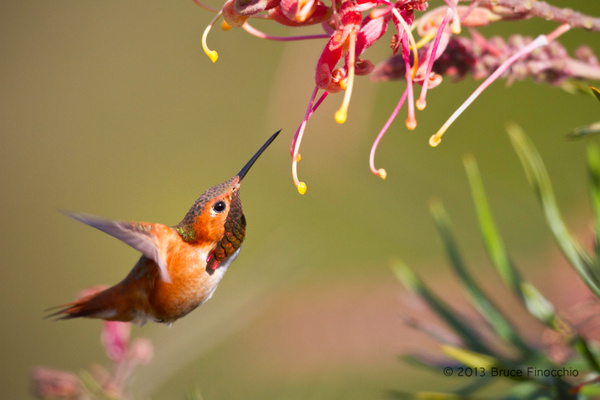 Male Allen's Hummingbird Searching For Nectar by BruceFinocchio