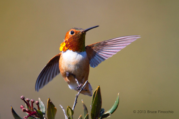 Male Allen's Hummingbird Spreads Wings by BruceFinocchio