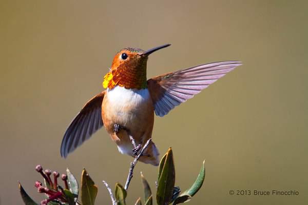 Male Allen's Hummingbird Spreads Wings