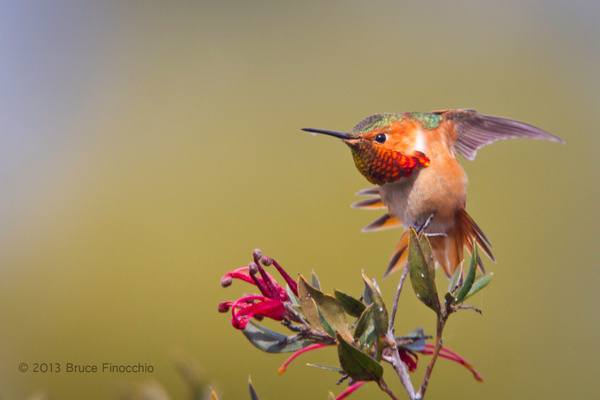 Male Allen's Hummingbird Stretches Wings and Tail Feathers by BruceFinocchio