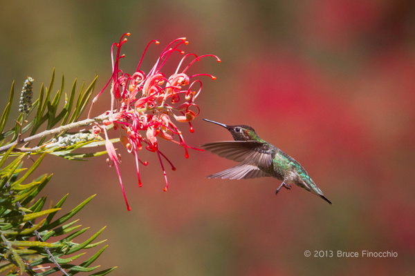 Male Anna's Hummingbird About To Pollinate Superb Grevillea Blossom by BruceFinocchio