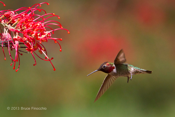 Male Anna's Hummingbird Flying into Superb Grevillea by BruceFinocchio