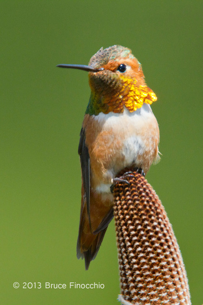 Portrait Of A Male Allen's Hummingbird on Bansia Cone by...