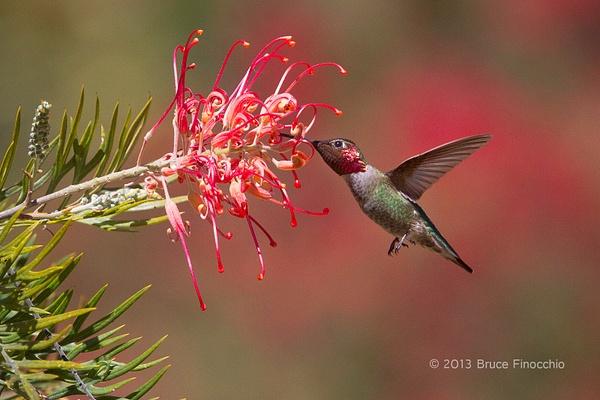 Male Anna's Hummingbird Pollinates Superb Grevillea by...