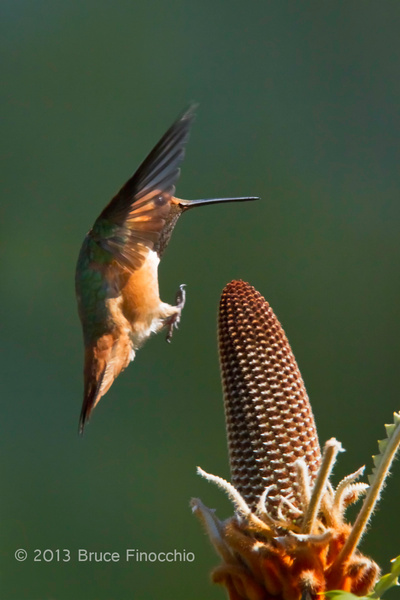 Wings Up As A Male Allen's Hummingbird Prepares To Land On Banksia by BruceFinocchio