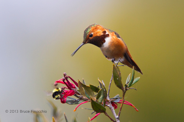 Male Allen's Hummingbird Checks Out Bumble Bee As It Pollinates Flower by BruceFinocchio