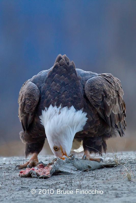 Bald Eagle Digs Into Salmon Carcass