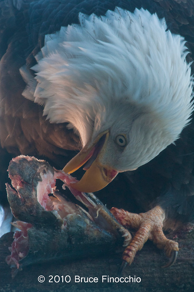 Bald Eagle Eats Salmon by BruceFinocchio