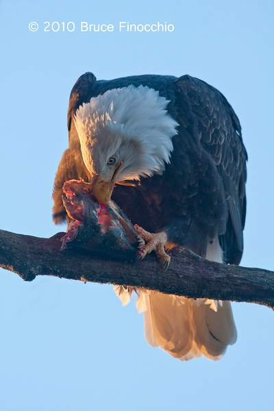 Bald Eagle Ingest Salmon While Perch On A Tree Branch