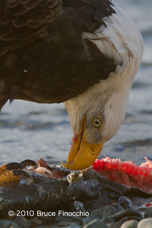 Bald Eagle Over Salmon Carcass
